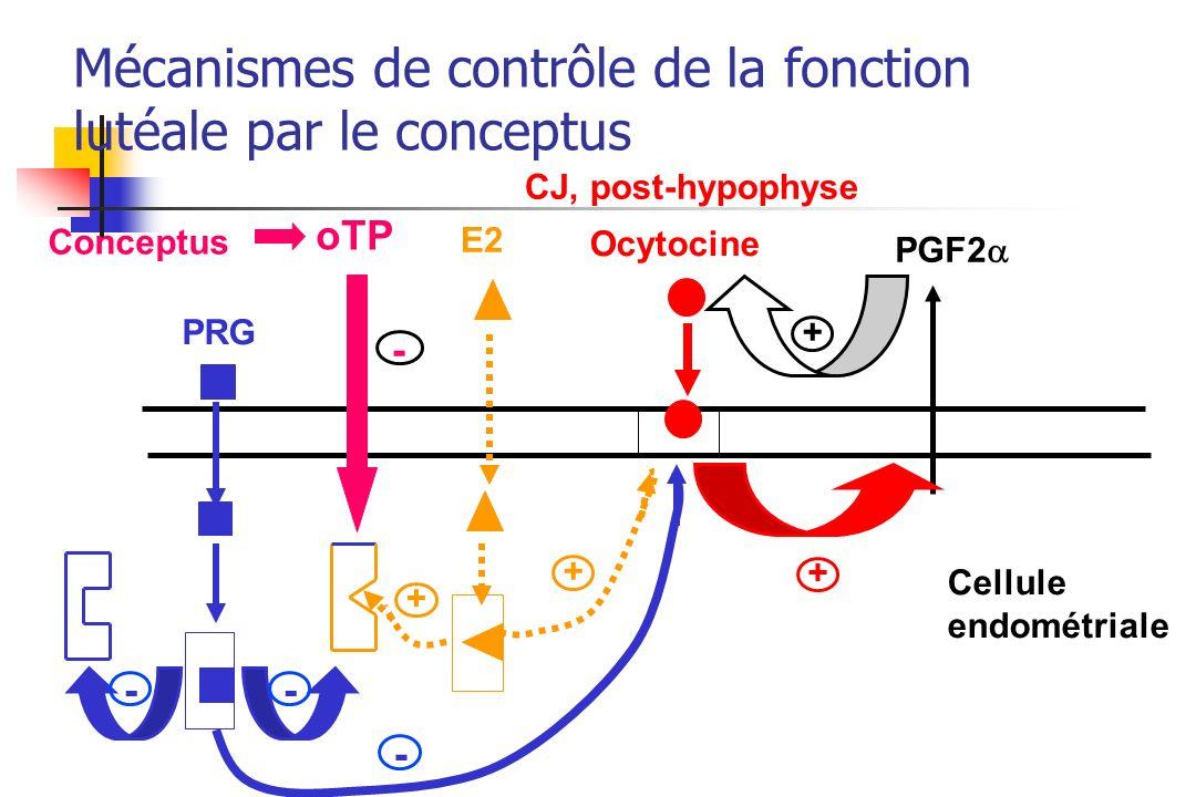 Ocytocine E2 PGF2 PRG Cellule endométriale + - - - + + + CJ, post-hypophyse Conceptus oTP - Mécanismes de contrôle de la fonction lutéale par le conce