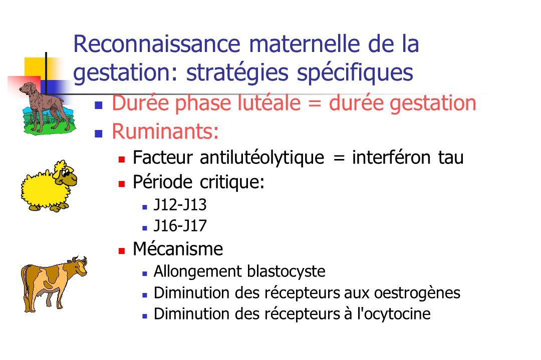 Reconnaissance maternelle de la gestation: stratégies spécifiques Durée phase lutéale = durée gestation Ruminants: Facteur antilutéolytique = interfér