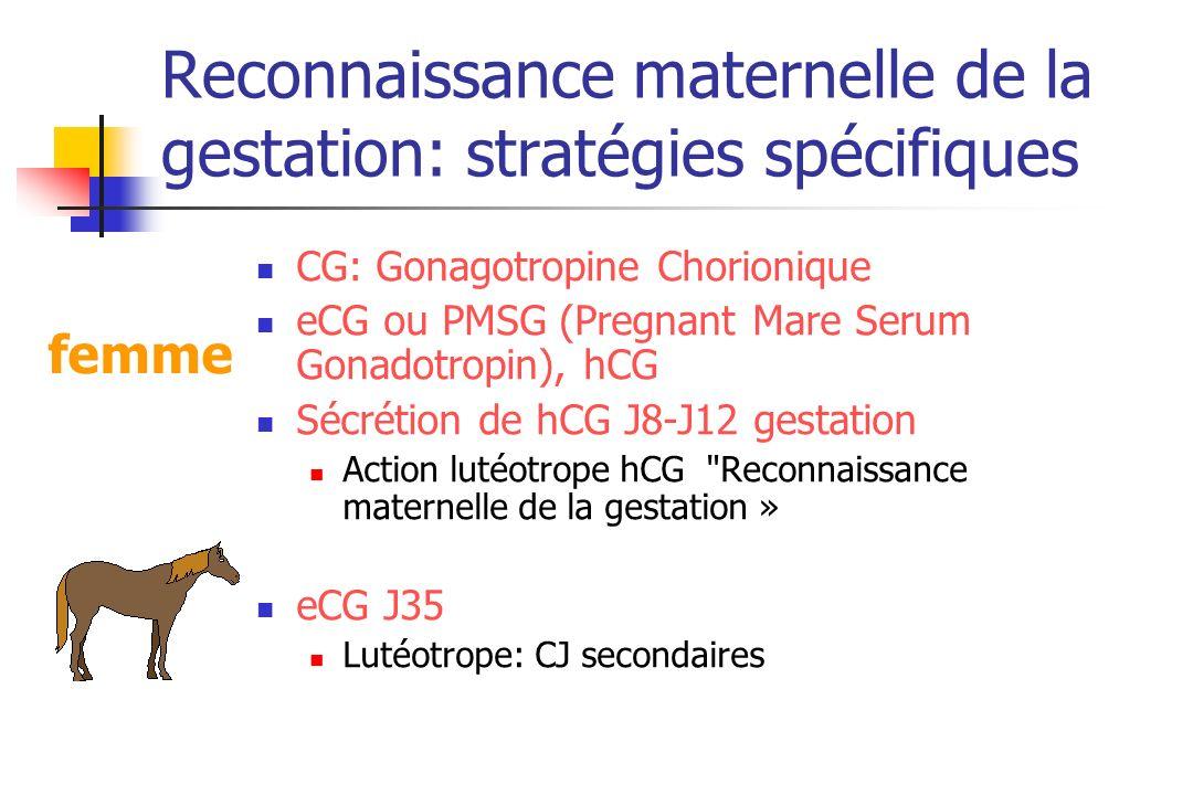 Reconnaissance maternelle de la gestation: stratégies spécifiques CG: Gonagotropine Chorionique eCG ou PMSG (Pregnant Mare Serum Gonadotropin), hCG Sé
