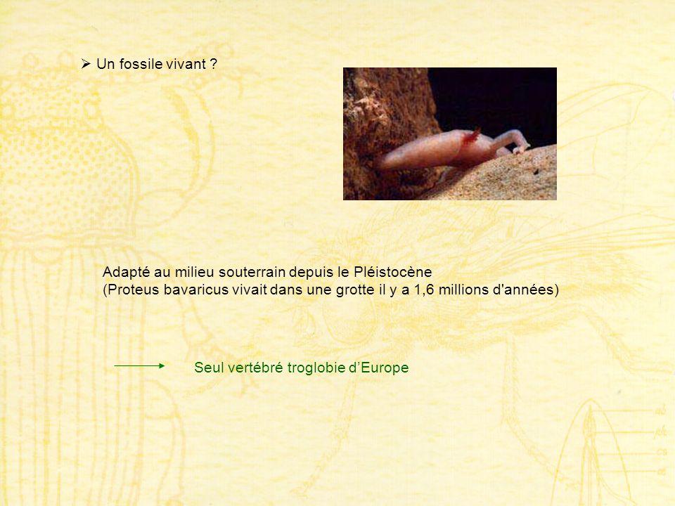 Un fossile vivant ? Adapté au milieu souterrain depuis le Pléistocène (Proteus bavaricus vivait dans une grotte il y a 1,6 millions d'années) Seul ver