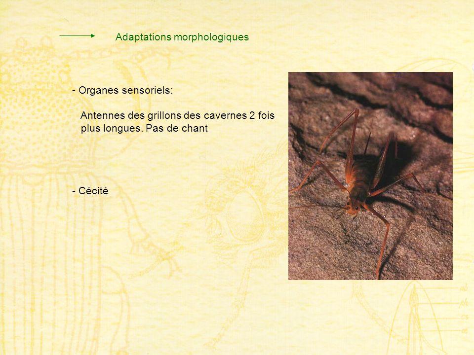 - Organes sensoriels: Antennes des grillons des cavernes 2 fois plus longues. Pas de chant - Cécité Adaptations morphologiques