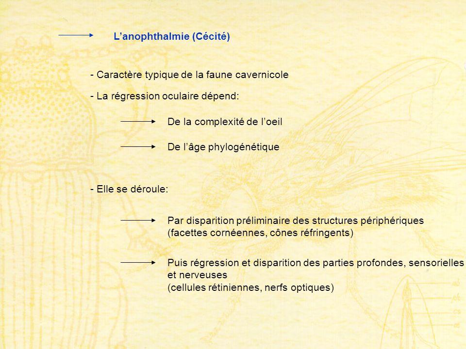 Lanophthalmie (Cécité) - Caractère typique de la faune cavernicole - La régression oculaire dépend: De la complexité de loeil De lâge phylogénétique -