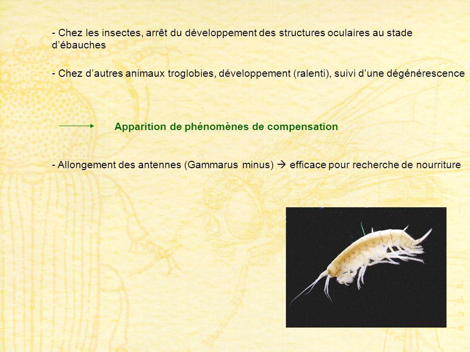 - Chez les insectes, arrêt du développement des structures oculaires au stade débauches - Chez dautres animaux troglobies, développement (ralenti), su