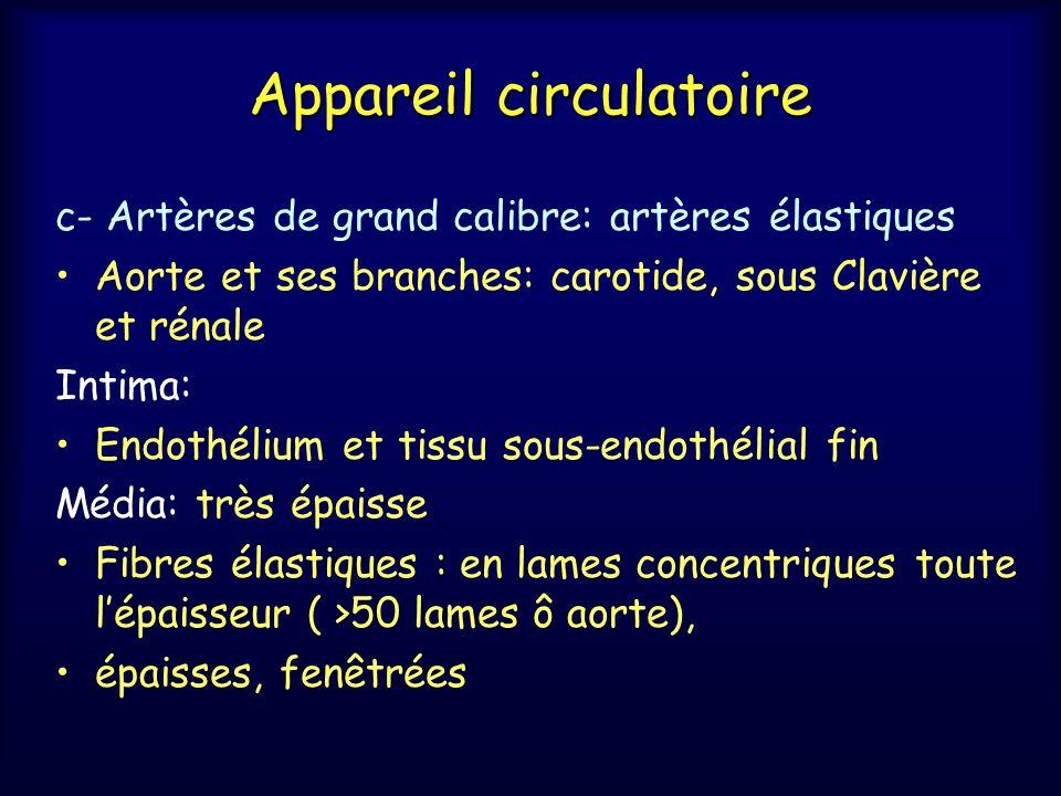 Appareil circulatoire c- Artères de grand calibre: artères élastiques Aorte et ses branches: carotide, sous Clavière et rénale Intima: Endothélium et