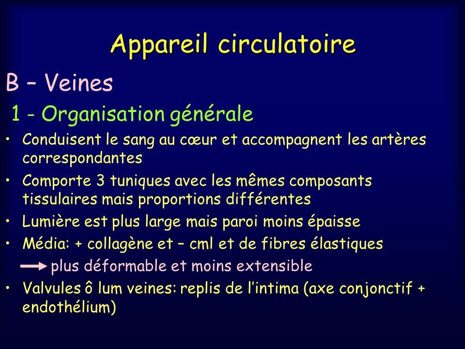 Appareil circulatoire B – Veines 1 - Organisation générale Conduisent le sang au cœur et accompagnent les artères correspondantes Comporte 3 tuniques