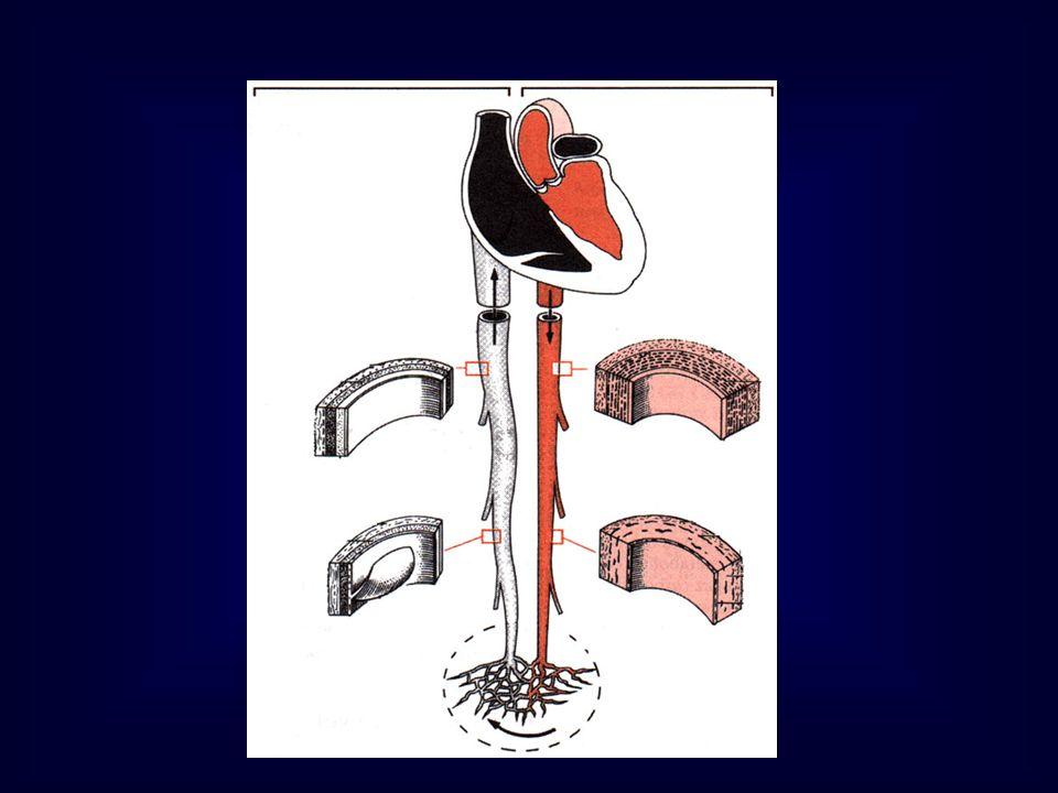Appareil circulatoire b- Artères de petit et moyen calibres Intima Endothélium et couche sous-endothéliales Média: 10 à 40 couches de cml Tissu élastique très réduit : fibres très fines éparses LEI continue LEE continue ( moy art) absente (ptes art) Matrice conjonctive: Collagène Subst fondamentale amorphe (GAG, Glycoprot) Adventice: vasa vasorum et nervi vasorum