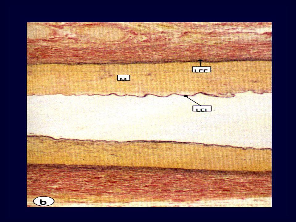Appareil circulatoire a-Intima Endothélium MO Cellules épithéliales aplaties, jointives Allongées selon la direction du courant sanguin Contours irréguliers ME Microvillosités AG péri-nucléaire, REG +/-, mitochondries+++ FI dactine basaux Corps de Weibel et Palade: Vésicules riches glycoprot (coagulation)