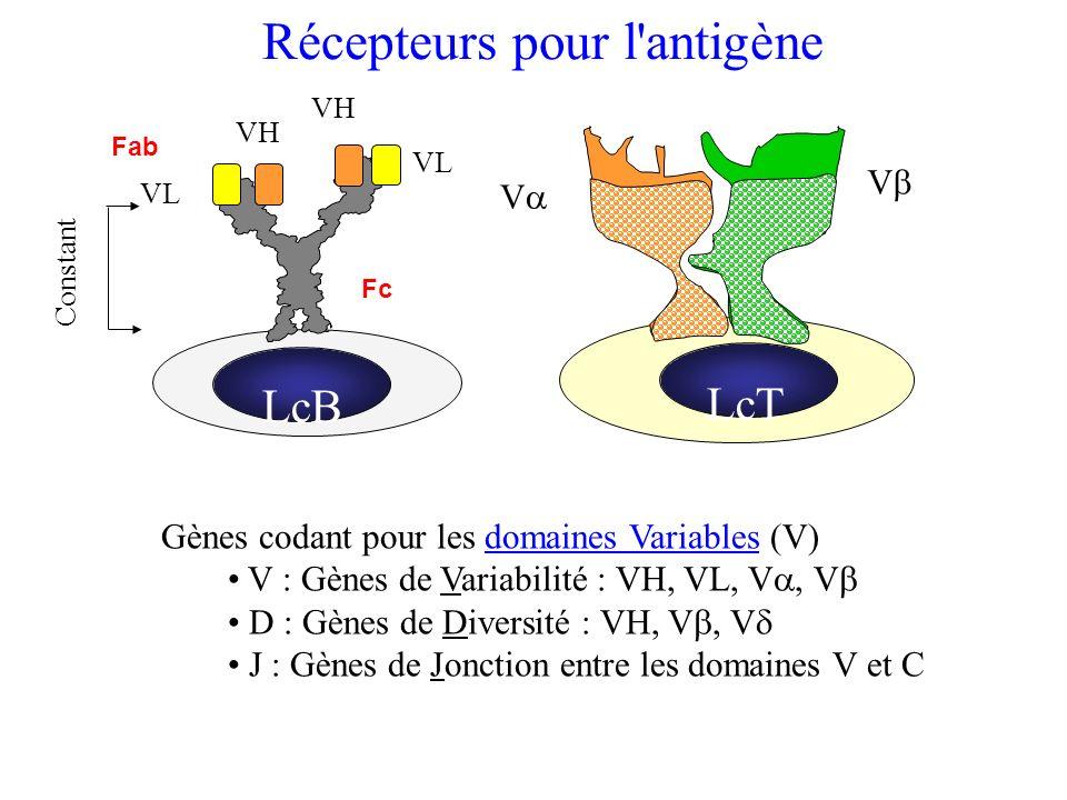 LcT V V Récepteurs pour l'antigène Gènes codant pour les domaines Variables (V) V : Gènes de Variabilité : VH, VL, V, V D : Gènes de Diversité : VH, V