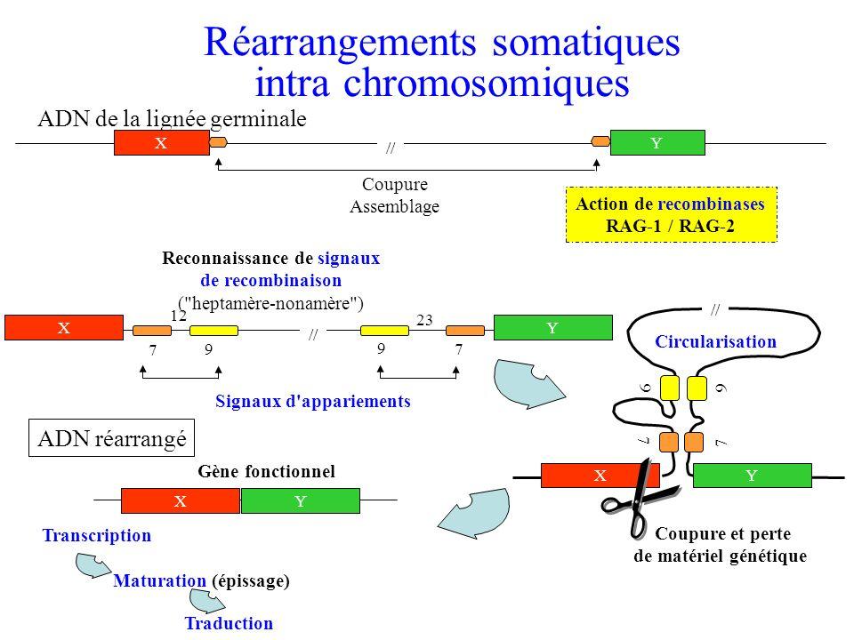Réarrangements somatiques intra chromosomiques Action de recombinases RAG-1 / RAG-2 Coupure Assemblage ADN de la lignée germinale XY // Reconnaissance