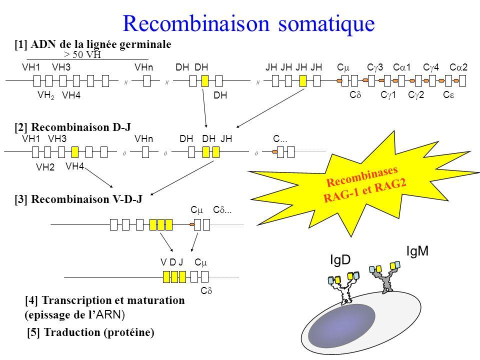 > 50 VH VH1 // VH 2 VH3 VH4 DH JH C VHnJH C C 3 C 1 C 2 C 4 C C 2 [1] ADN de la lignée germinale Recombinases RAG-1 et RAG2 [4] Transcription et matur