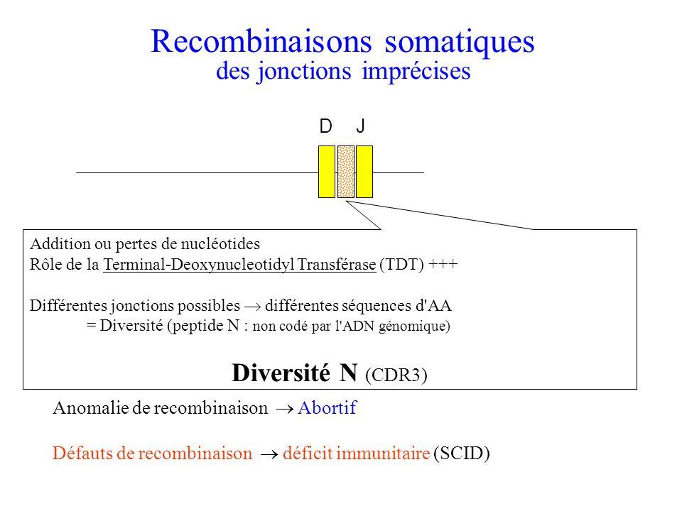 Addition ou pertes de nucléotides Rôle de la Terminal-Deoxynucleotidyl Transférase (TDT) +++ Différentes jonctions possibles différentes séquences d'A
