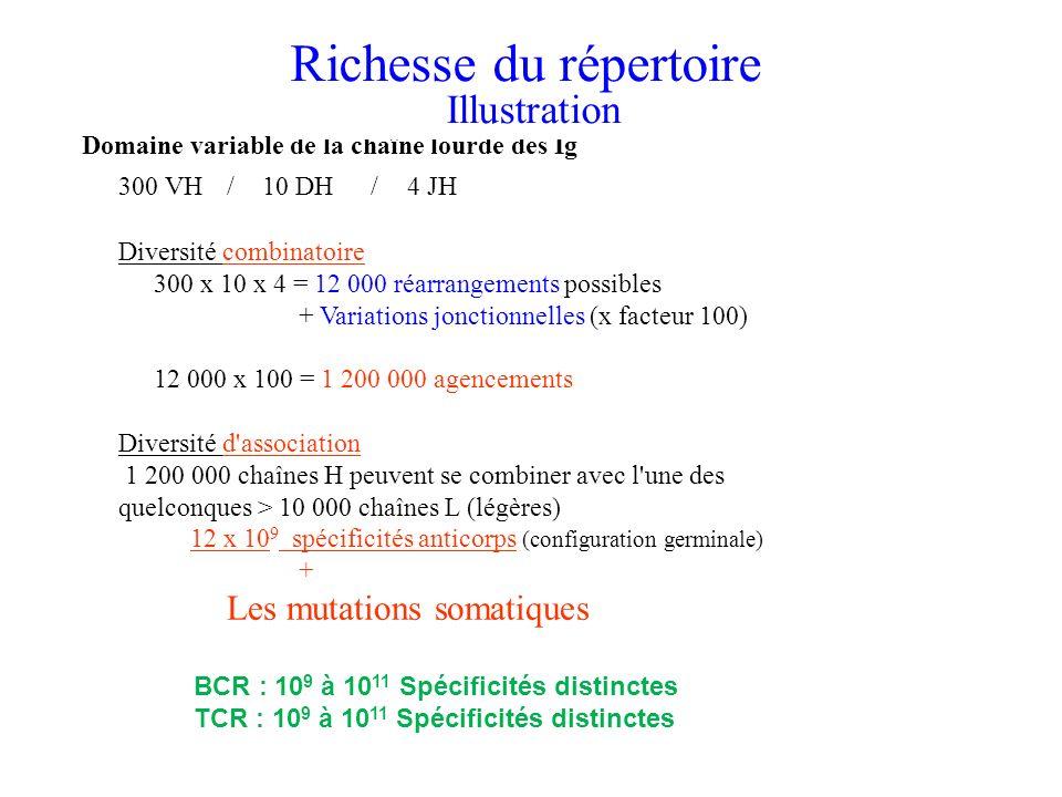Domaine variable de la chaîne lourde des Ig 300 VH/10 DH/4 JH Diversité combinatoire 300 x 10 x 4 = 12 000 réarrangements possibles + Variations jonct