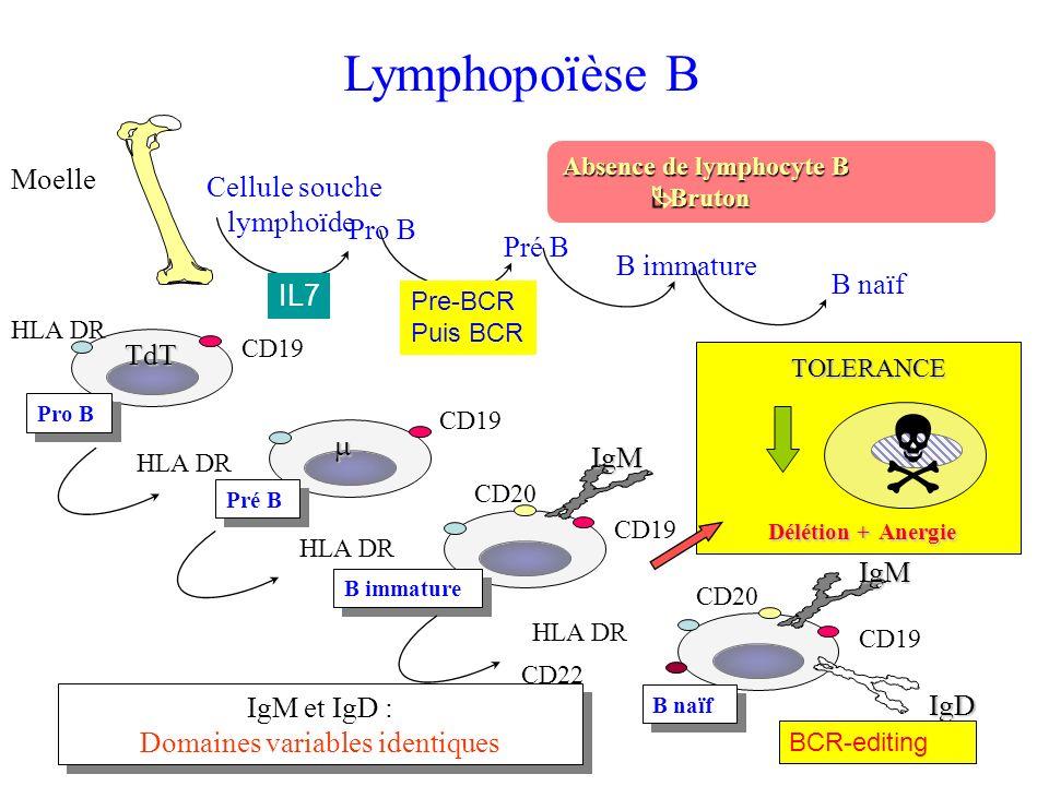 Lymphopoïèse B Moelle Absence de lymphocyte B Bruton Bruton IgM et IgD : Domaines variables identiques IgM et IgD : Domaines variables identiques Cell