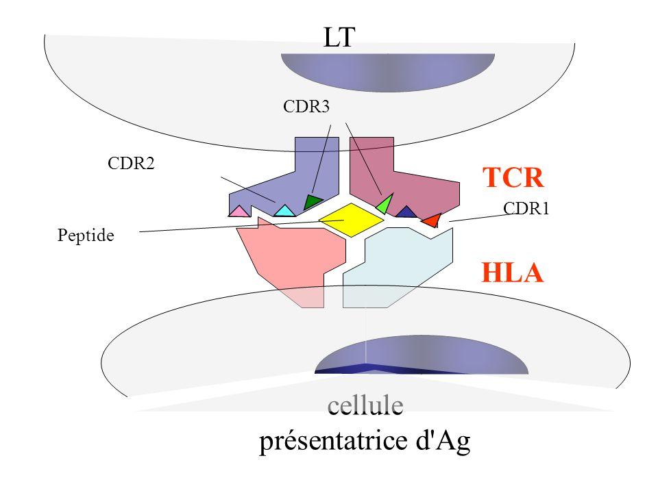 LT TCR CDR2 CDR3 CDR1 HLA cellule présentatrice d'Ag Peptide