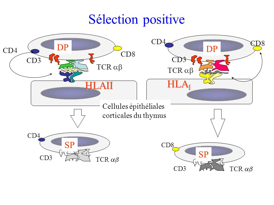 Sélection positive HLAII HLA I DP TCR CD3 Cellules épithéliales corticales du thymus CD4 CD8 SP TCR CD3 CD8 SP TCR CD3 CD4