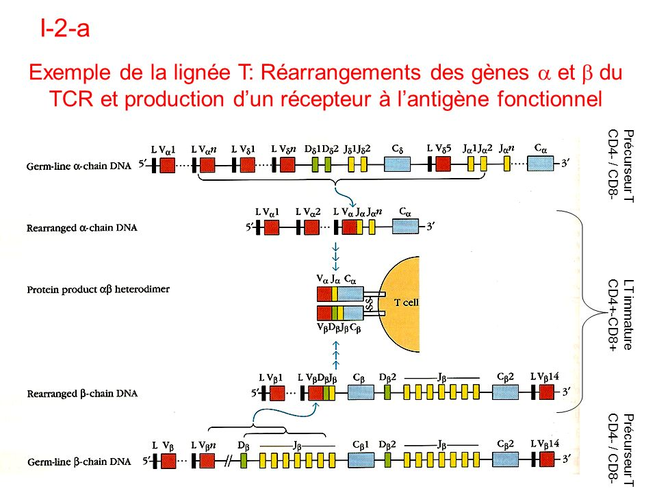 Exemple de la lignée T: Réarrangements des gènes et du TCR et production dun récepteur à lantigène fonctionnel I-2-a LT immature CD4+-CD8+ Précurseur