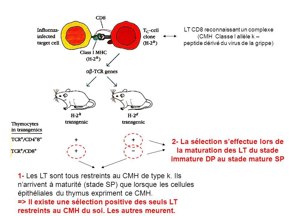 LT CD8 reconnaissant un complexe (CMH Classe I allèle k – peptide dérivé du virus de la grippe) 1- Les LT sont tous restreints au CMH de type k. Ils n