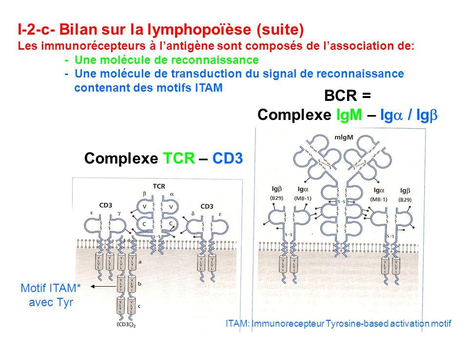 I-2-c- Bilan sur la lymphopoïèse (suite) Les immunorécepteurs à lantigène sont composés de lassociation de: - Une molécule de reconnaissance - Une mol