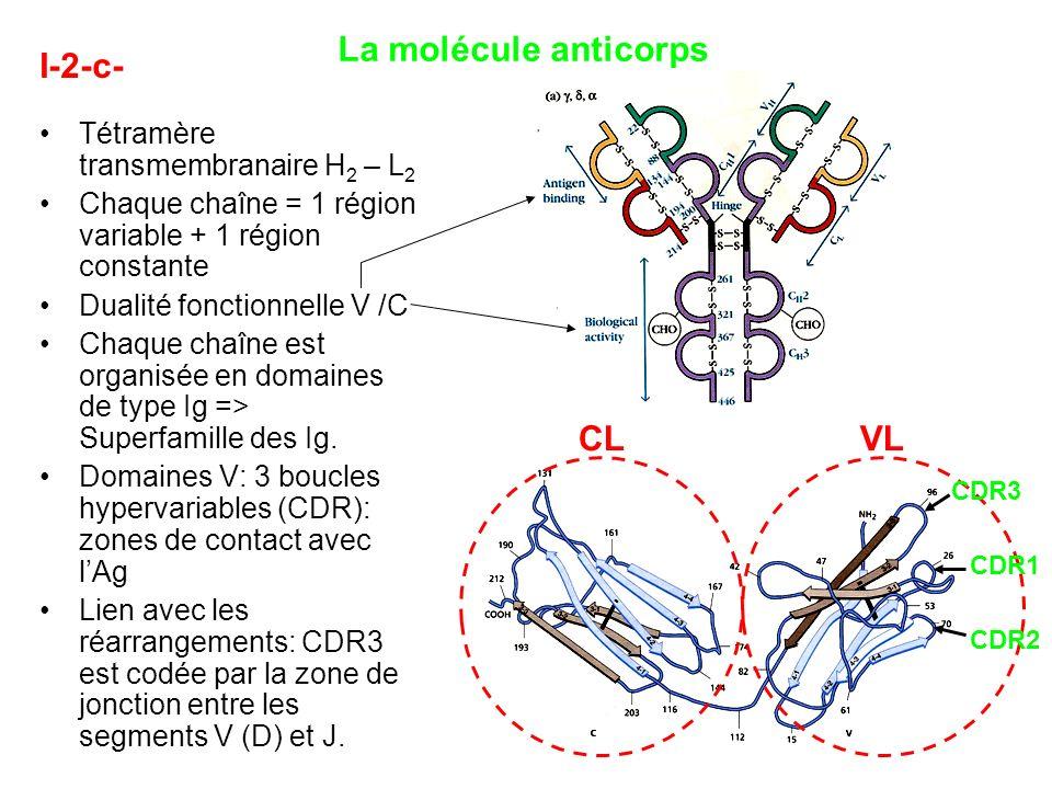 I-2-c- La molécule anticorps Tétramère transmembranaire H 2 – L 2 Chaque chaîne = 1 région variable + 1 région constante Dualité fonctionnelle V /C Ch