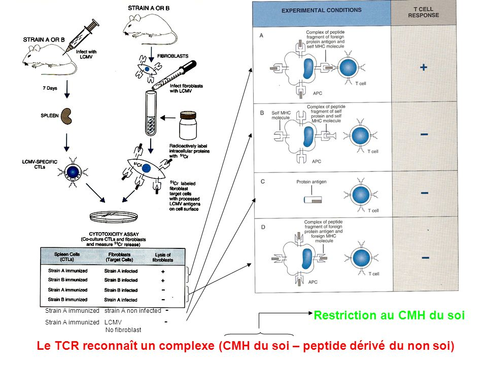 Le TCR reconnaît un complexe (CMH du soi – peptide dérivé du non soi) Strain A immunized strain A non infected - Strain A immunized LCMV - No fibrobla