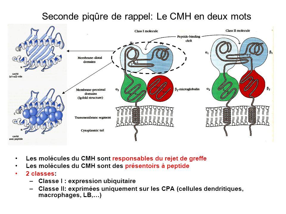 Seconde piqûre de rappel: Le CMH en deux mots Tous les gènes codant pour les protéines du CMH sont regroupées sur un locus, le locus HLA Une CPA exprime 6 molécules différentes du CMH à sa surface (Am, Ap, Bm, Bp, Cm, Cp, DPm, DPp, DQm, DQp, DRm, DRm) Les gènes du CMH sont hautement polymorphes