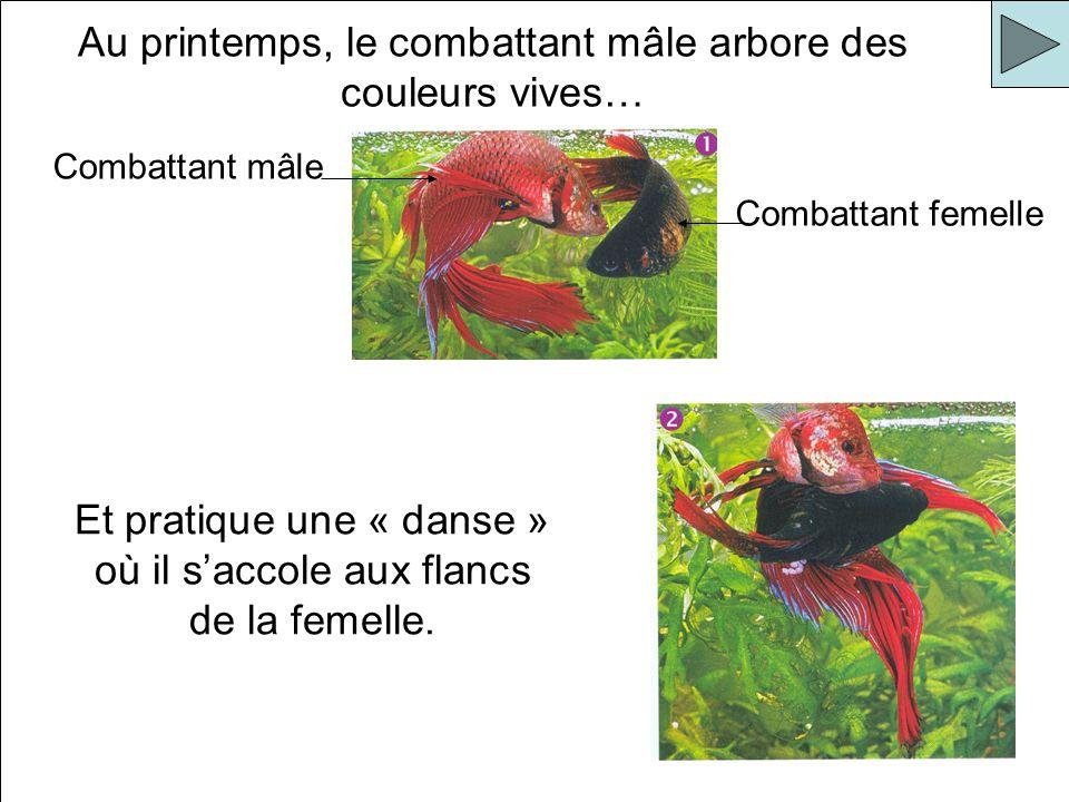 Au printemps, le combattant mâle arbore des couleurs vives… Et pratique une « danse » où il saccole aux flancs de la femelle. Combattant mâle Combatta