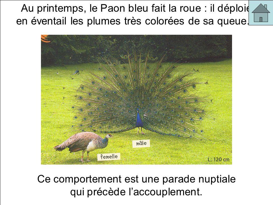 Au printemps, le Paon bleu fait la roue : il déploie en éventail les plumes très colorées de sa queue… Ce comportement est une parade nuptiale qui précède laccouplement.