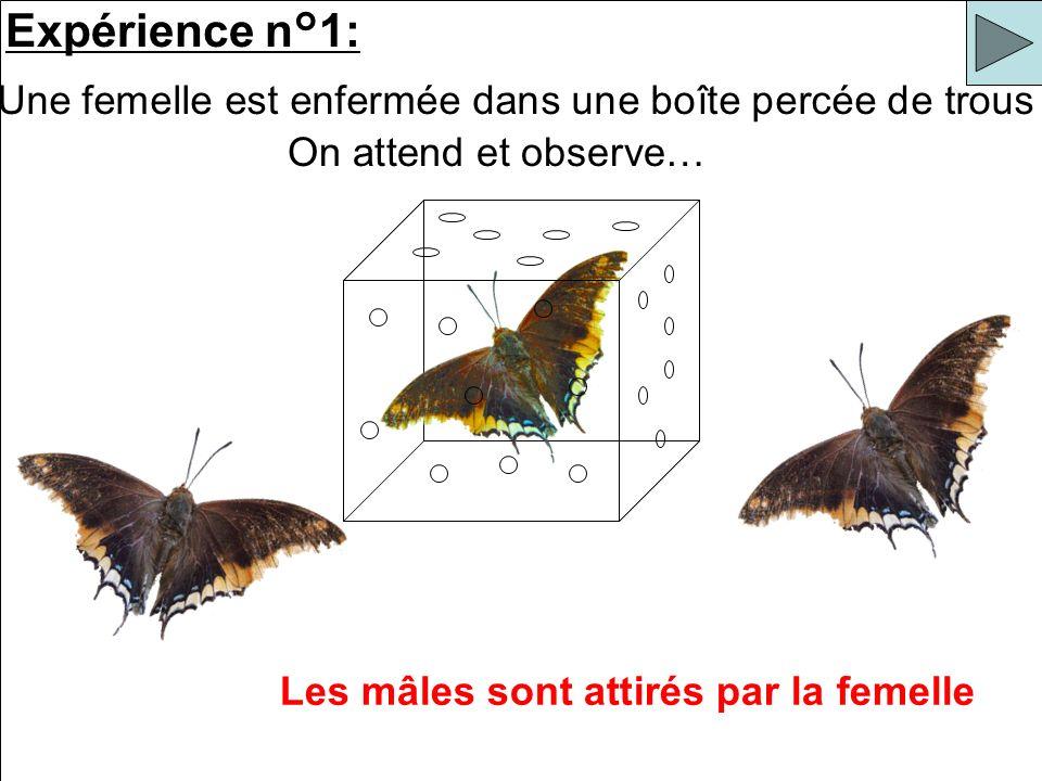 Expérience n°1: Une femelle est enfermée dans une boîte percée de trous Les mâles sont attirés par la femelle On attend et observe…