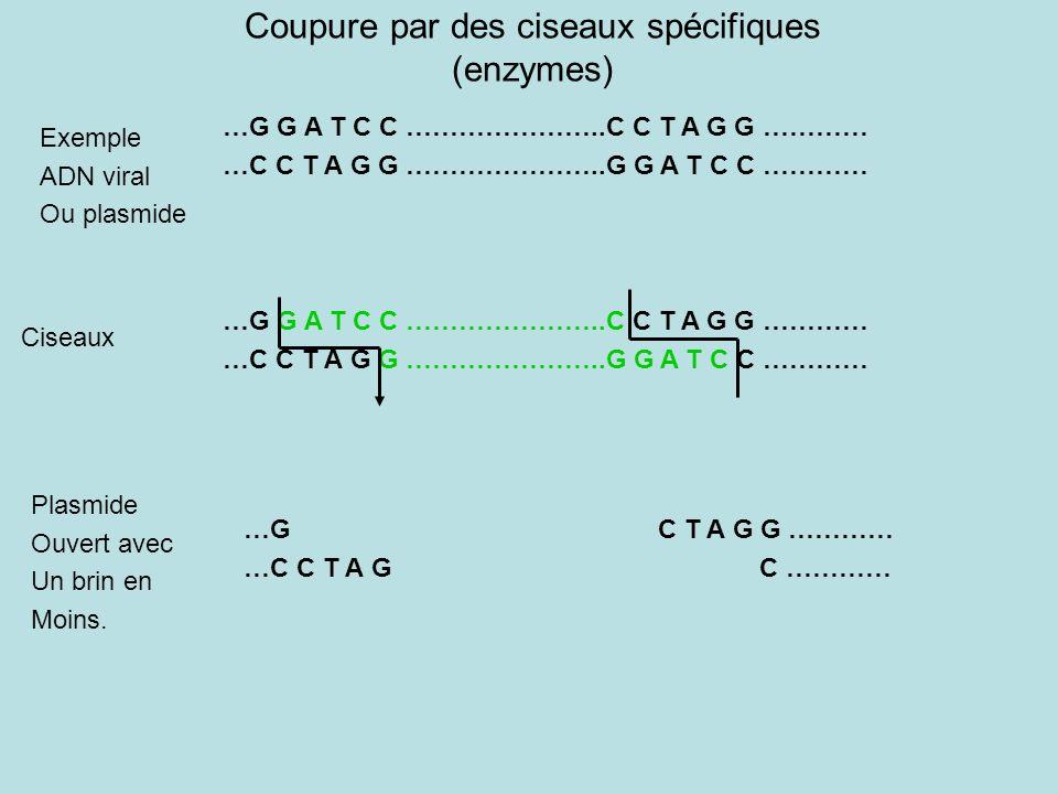 Coupure par des ciseaux spécifiques (enzymes) …G G A T C C …………………..C C T A G G ………… …C C T A G G …………………..G G A T C C ………… Exemple ADN viral Ou plasmide …G G A T C C …………………..C C T A G G ………… …C C T A G G …………………..G G A T C C ………… …G C T A G G ………… …C C T A G C ………… Ciseaux Plasmide Ouvert avec Un brin en Moins.
