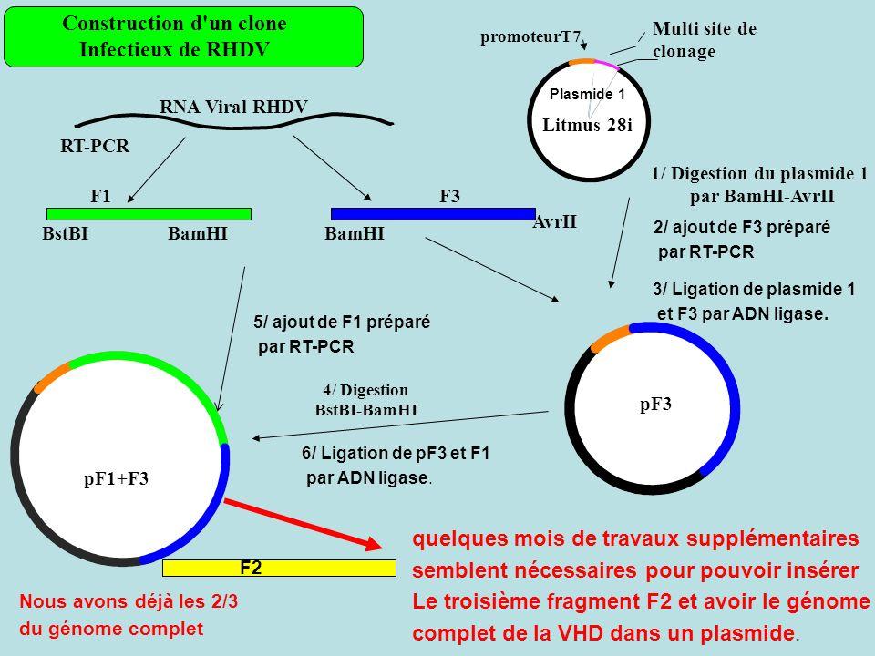 Litmus 28i Multi site de clonage promoteurT7 RNA Viral RHDV RT-PCR F3F1 BamHI AvrII BstBI 4/ Digestion BstBI-BamHI 1/ Digestion du plasmide 1 par BamHI-AvrII pF3 pF1+F3 Construction d un clone Infectieux de RHDV Plasmide 1 2/ ajout de F3 préparé par RT-PCR 3/ Ligation de plasmide 1 et F3 par ADN ligase.