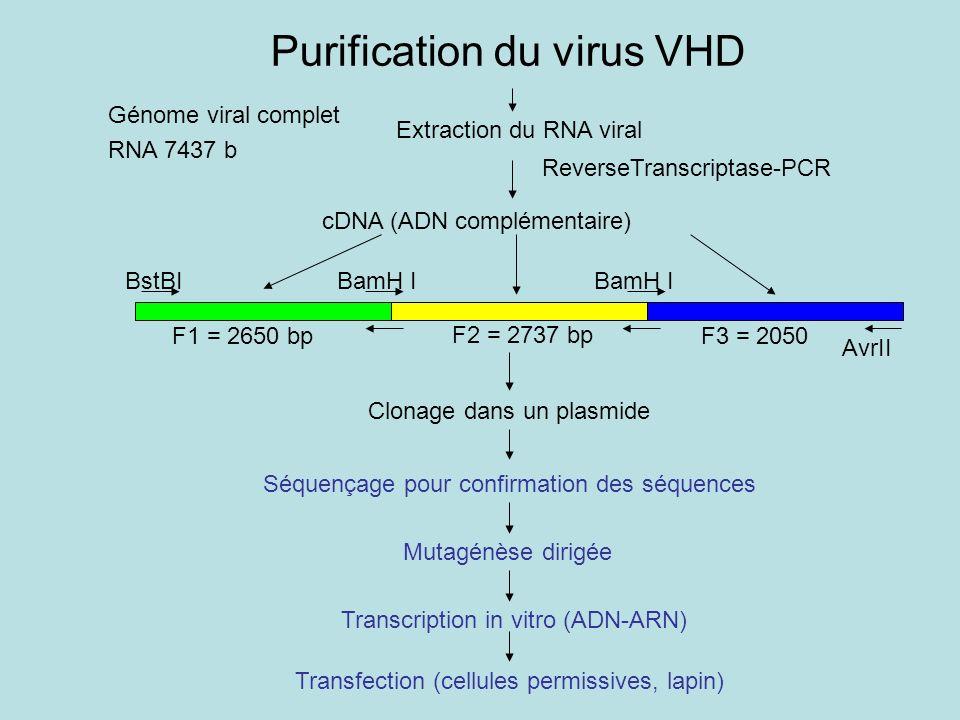 Extraction du RNA viral ReverseTranscriptase-PCR cDNA (ADN complémentaire) F1 = 2650 bp F2 = 2737 bp F3 = 2050 Clonage dans un plasmide Séquençage pour confirmation des séquences Mutagénèse dirigée Transcription in vitro (ADN-ARN) Transfection (cellules permissives, lapin) BstBIBamH I AvrII Purification du virus VHD Génome viral complet RNA 7437 b