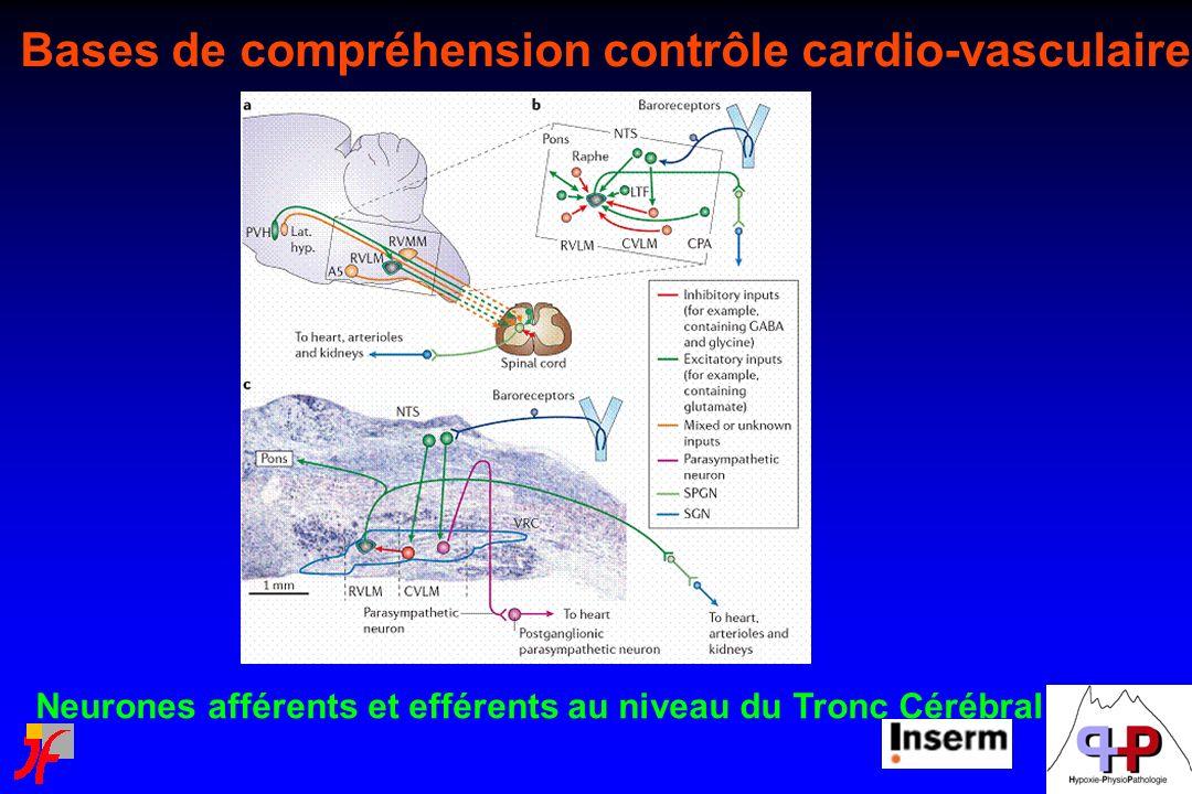 Neurones afférents et efférents au niveau du Tronc Cérébral Bases de compréhension contrôle cardio-vasculaire