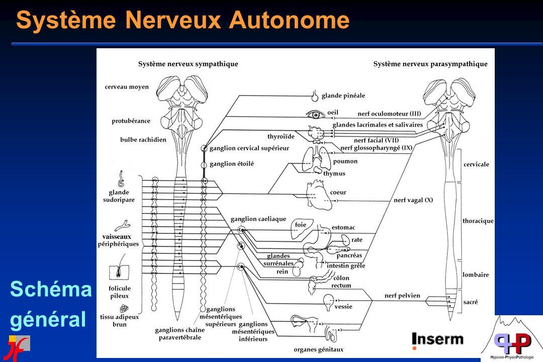 Schéma général Système Nerveux Autonome