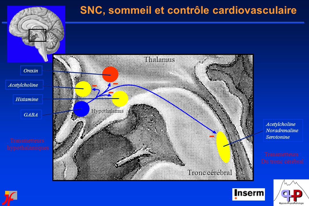 SNC, sommeil et contrôle cardiovasculaire Transmetteurs Du tronc cérébral Transmetteurs hypothalamiques Orexin Histamine AcetylcholineThalamus Tronc c