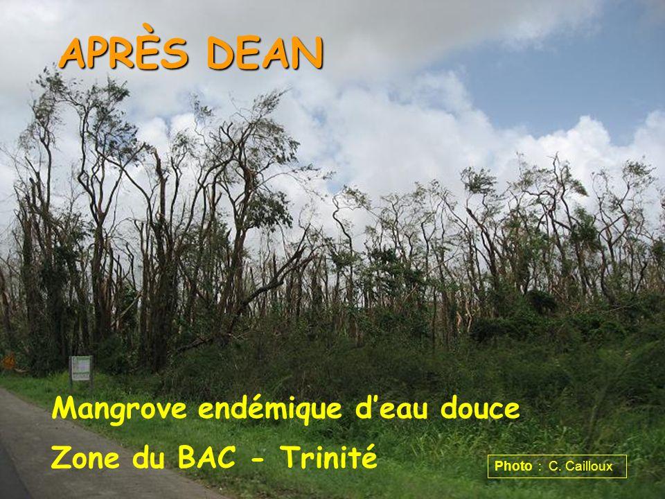 Mangrove endémique deau douce Zone du BAC - Trinité APRÈS DEAN Photo : C. Cailloux