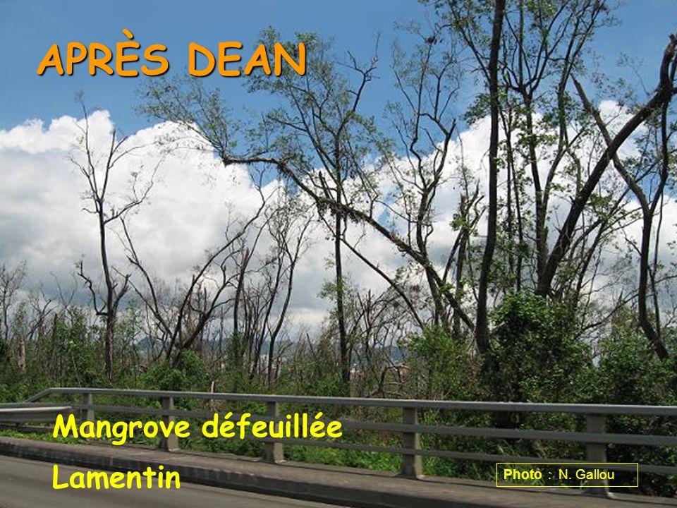 APRÈS DEAN Mangrove défeuillée Lamentin Photo : N. Gallou