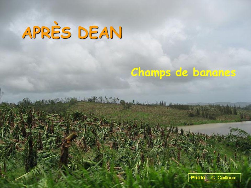 APRÈS DEAN Champs de bananes Photo : C. Cailloux
