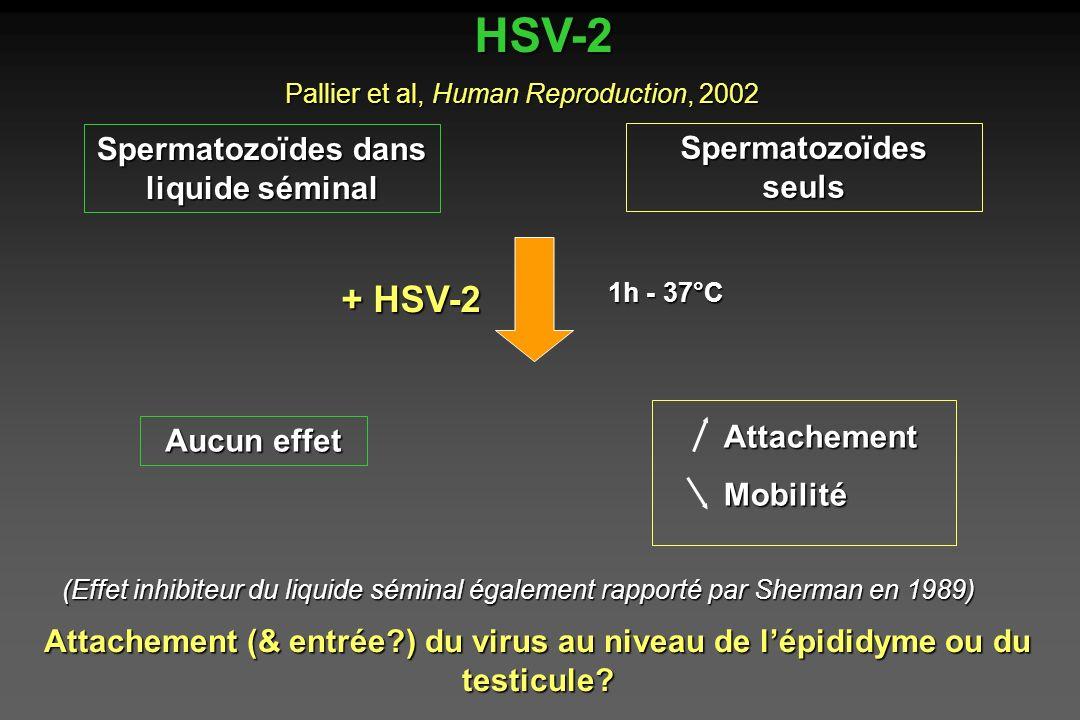 Spermatozoïdes dans liquide séminal HSV-2 Spermatozoïdes seuls + HSV-2 1h - 37°C Aucun effet Attachement Mobilité Pallier et al, Human Reproduction, 2