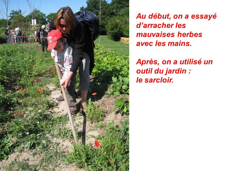 Au début, on a essayé darracher les mauvaises herbes avec les mains. Après, on a utilisé un outil du jardin : le sarcloir.