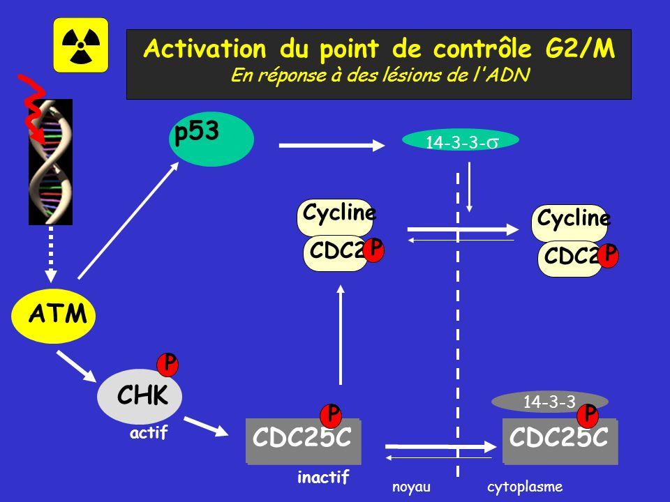 Activation du point de contrôle G2/M En réponse à des lésions de l ADN CDC2 Cycline P ATM CHK CDC25C P cytoplasme p53 14-3-3- noyau 14-3-3 CDC25C P actif inactif P CDC2 Cycline P