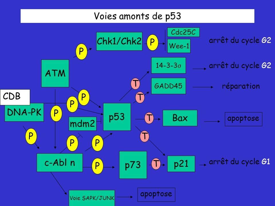 Voies amonts de p53 ATM p53 p73 Chk1/Chk2 c-Abl n P P P P P Bax DNA-PK P p21 GADD45 14-3-3 T T T T T arrêt du cycle G2 apoptose réparation arrêt du cycle G2 arrêt du cycle G1 P Wee-1 Cdc25C Voie SAPK/JUNK mdm2 P apoptose P CDB
