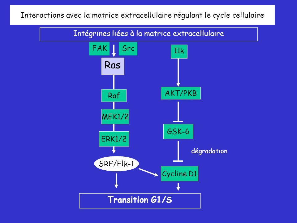 Raf MEK1/2 ERK1/2 SRF/Elk-1 AKT/PKB GSK-6 Ras Interactions avec la matrice extracellulaire régulant le cycle cellulaire Intégrines liées à la matrice extracellulaire Cycline D1 Transition G1/S SrcFAK Ilk dégradation