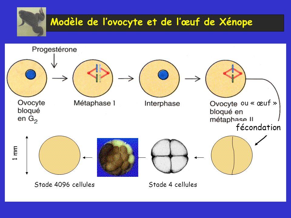 Modèle de lovocyte et de lœuf de Xénope Quantité relative d ADN par cellule Stade 4096 cellules ou « œuf » 1 mm Stade 4 cellules fécondation
