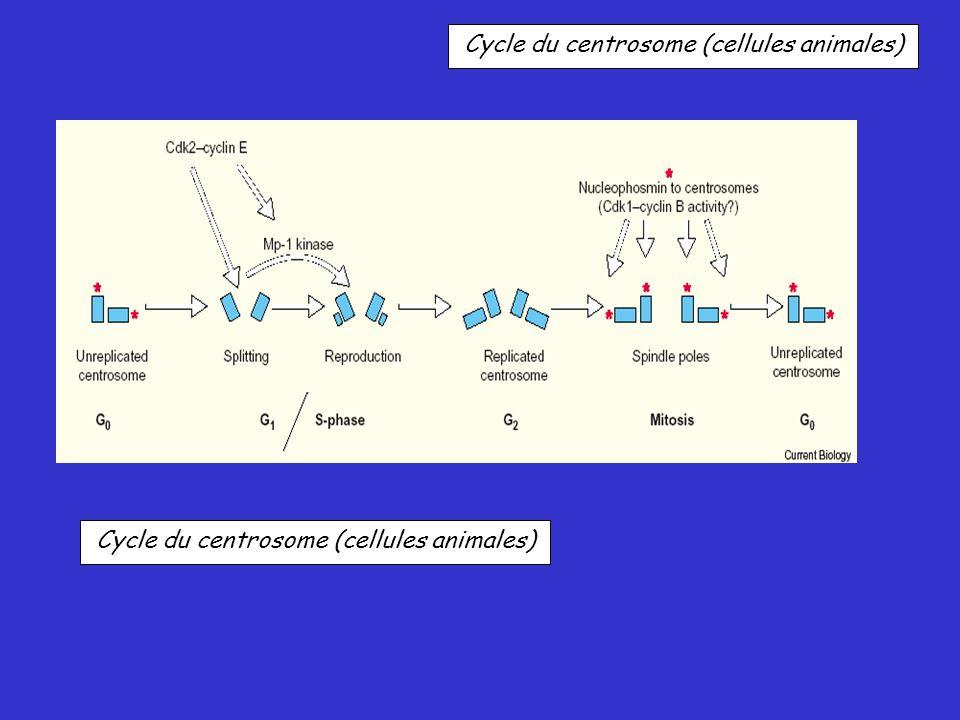 Cycle du centrosome (cellules animales)