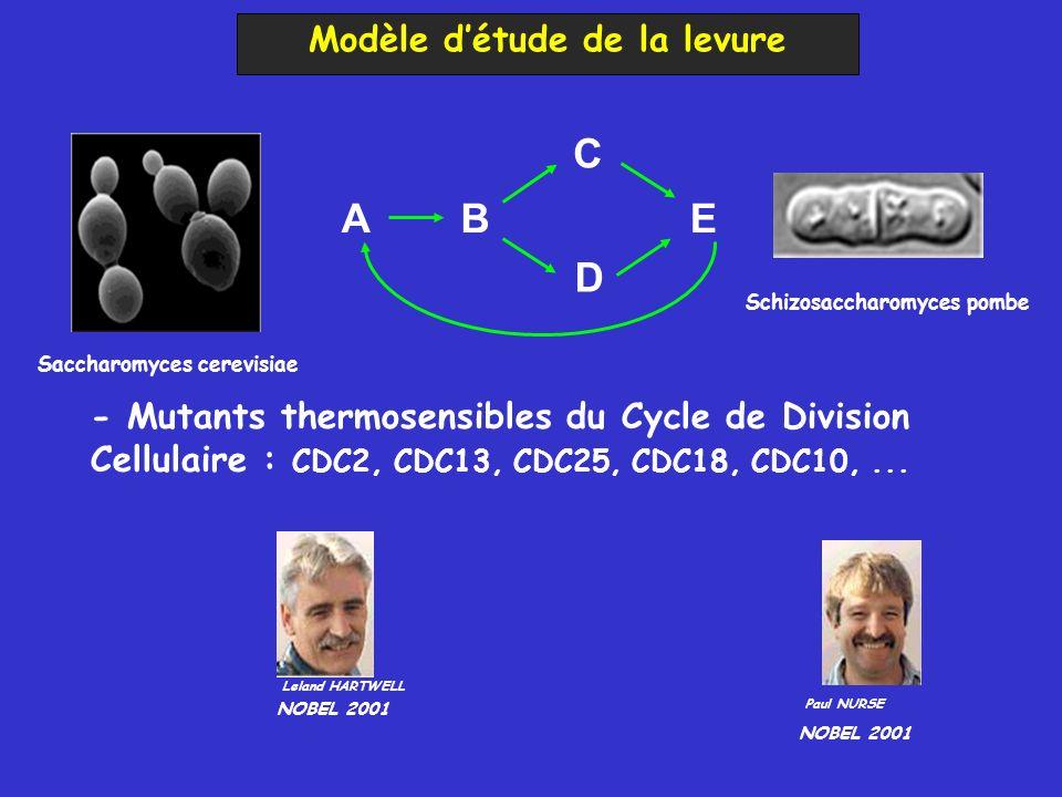 Modèle détude de la levure AB C D E Paul NURSE NOBEL 2001 Leland HARTWELL NOBEL 2001 - Mutants thermosensibles du Cycle de Division Cellulaire : CDC2, CDC13, CDC25, CDC18, CDC10,...