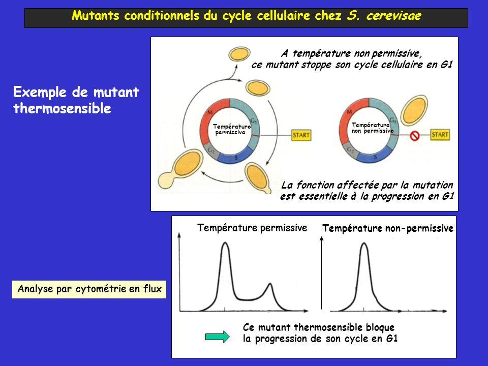 Exemple de mutant thermosensible A température non permissive, ce mutant stoppe son cycle cellulaire en G1 La fonction affectée par la mutation est es