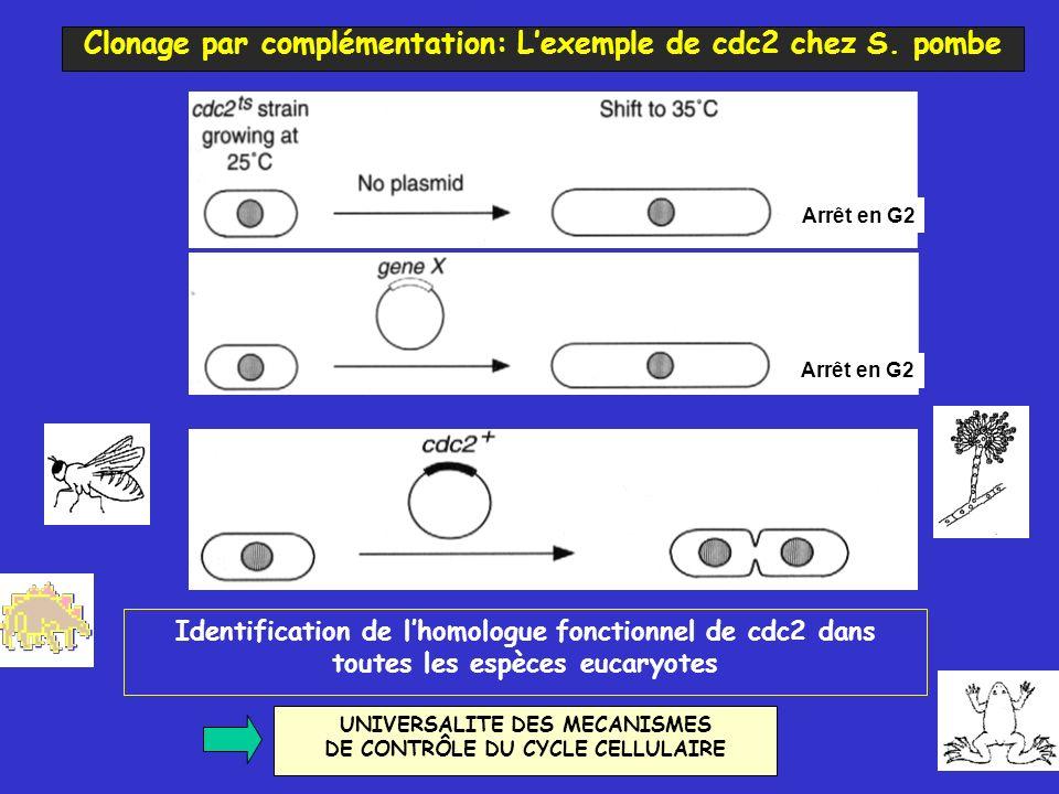 Identification de lhomologue fonctionnel de cdc2 dans toutes les espèces eucaryotes UNIVERSALITE DES MECANISMES DE CONTRÔLE DU CYCLE CELLULAIRE Arrêt