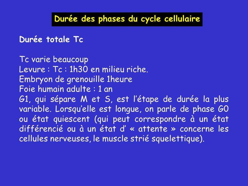 Durée totale Tc Tc varie beaucoup Levure : Tc : 1h30 en milieu riche. Embryon de grenouille 1heure Foie humain adulte : 1 an G1, qui sépare M et S, es