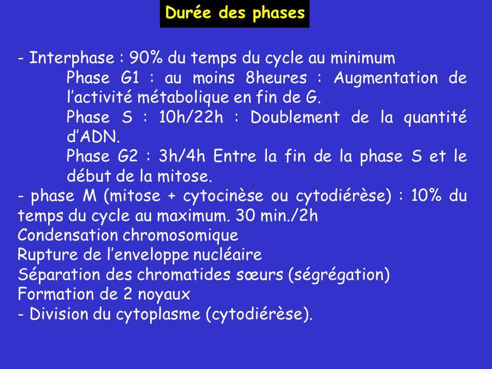 - Interphase : 90% du temps du cycle au minimum Phase G1 : au moins 8heures : Augmentation de lactivité métabolique en fin de G.