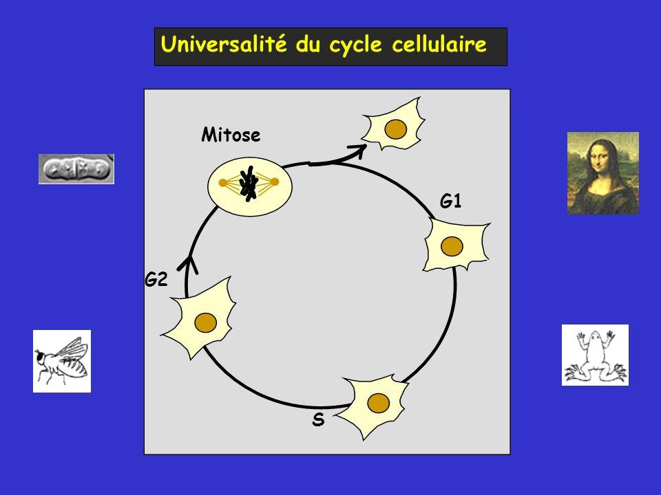 Exemple de mutant thermosensible A température non permissive, ce mutant stoppe son cycle cellulaire en G1 La fonction affectée par la mutation est essentielle à la progression en G1 Température non permissive Température permissive Analyse par cytométrie en flux Température permissive Ce mutant thermosensible bloque la progression de son cycle en G1 Mutants conditionnels du cycle cellulaire chez S.